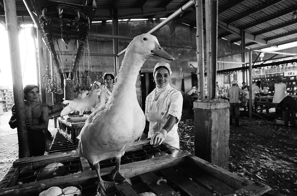 Hemző Károly: A Kecskeméti Baromfifeldolgozó Vállalat, 1972