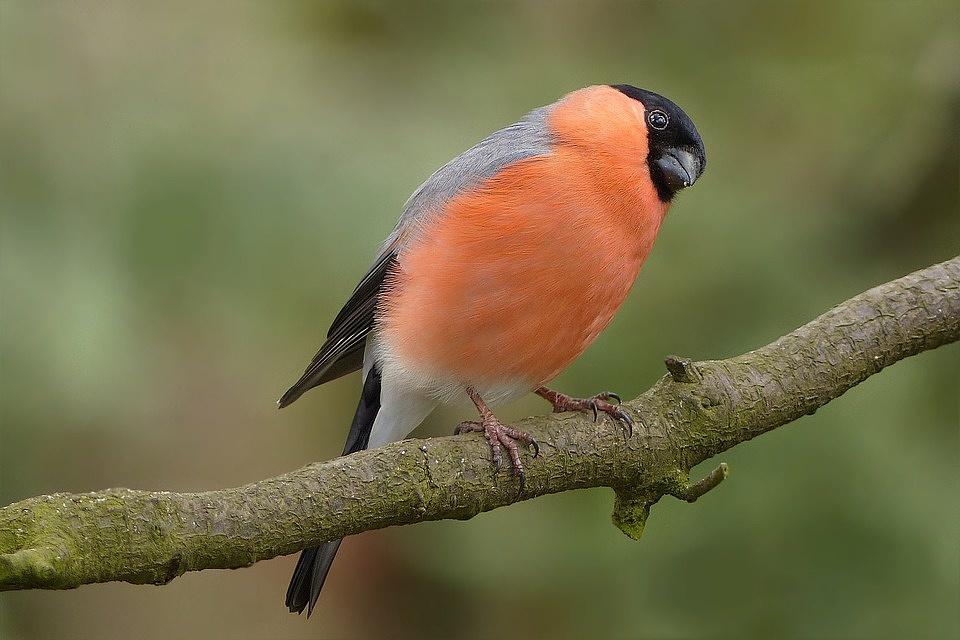 Bird-Garden-Foraging-Close-Road-Males-Bullfinch-757222