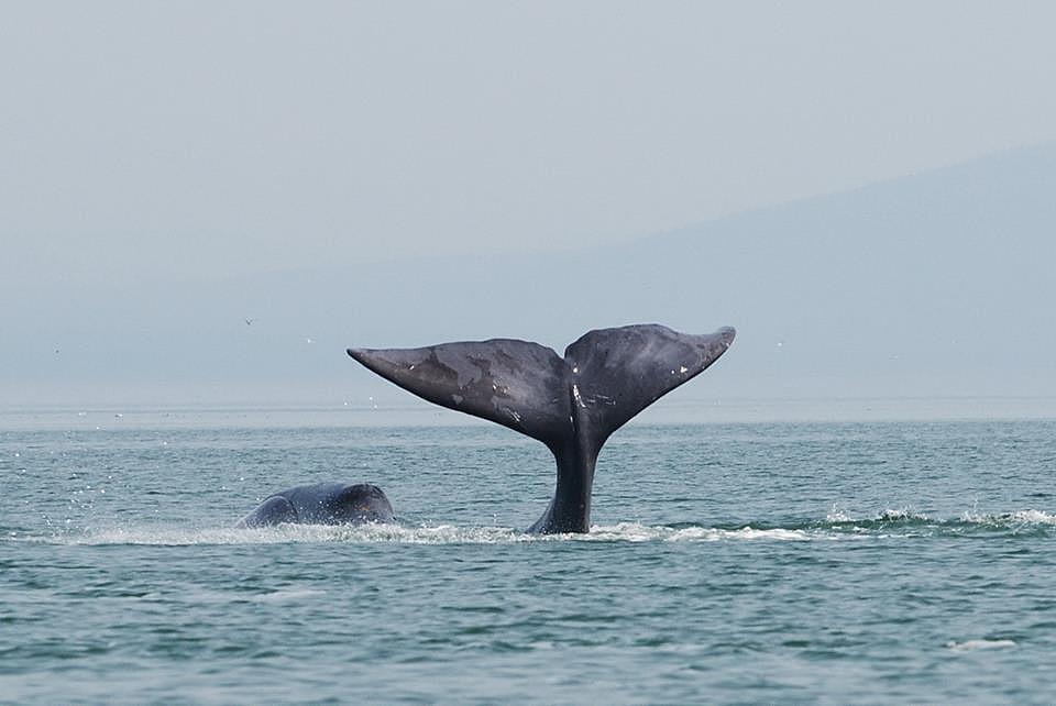 Egy grönlandi bálna csapkod a farkával a Ohotszki-tenger nyugati részén.