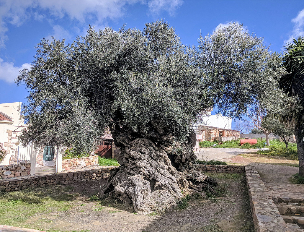 Olive_tree_of_Vouves-cc4-web-1-1030x785-153122.jpg
